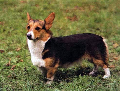 http://bestdog.narod.ru/porodi/felsh_korgi_peybrok/images/1b.jpg