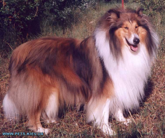 http://bestdog.narod.ru/porodi/kolli/images/1b.jpg